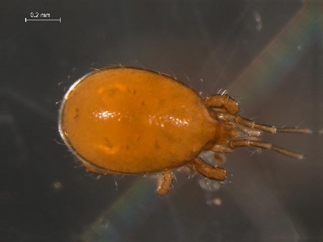 Image of Parholaspididae