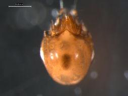 Image of <i><i>Achipteria</i></i> (Achipteria) <i>coleoptrata</i> (Linnaeus 1758)