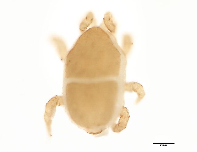 Image of Halolaelapidae