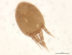 Image of Hygrobatidae