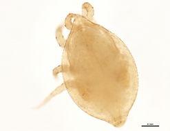 Image of Uroseius Berlese 1888