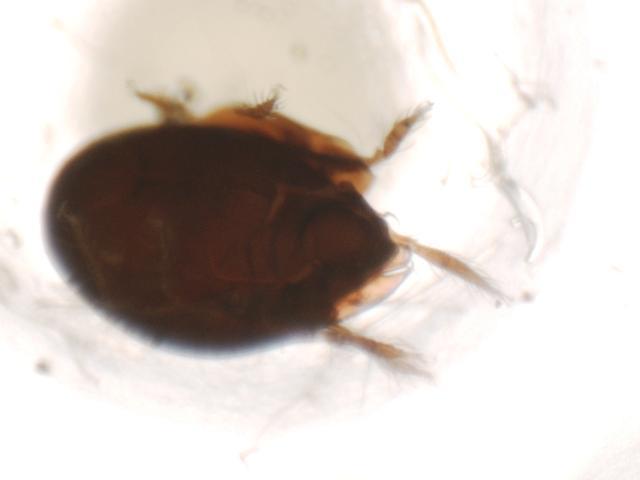 Image of <i>Anachipteria howardi</i> (Berlese 1908)