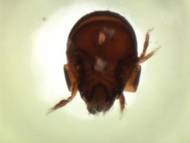 Image of <i>Eupelops septentrionalis</i> (Trägårdh 1910)