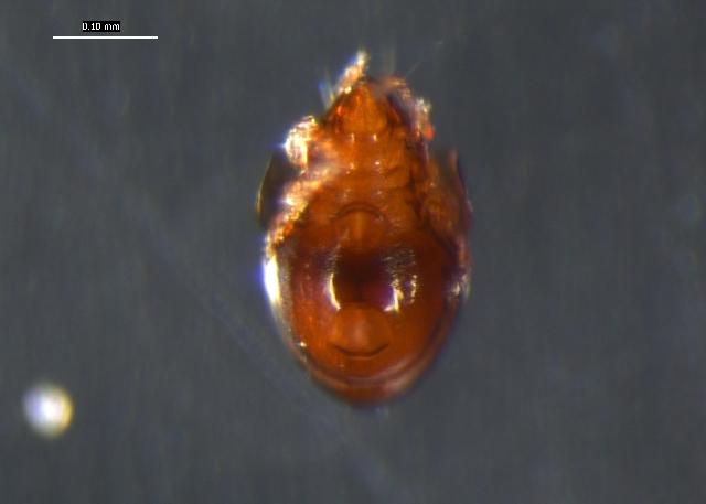 Image of Nanhermannia