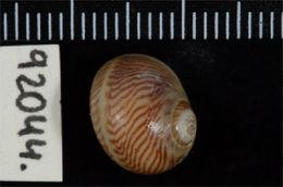 Image of <i>Tectonatica sagraiana</i> (d'Orbigny 1842)
