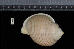 Image of <i>Edolium bairdii</i>
