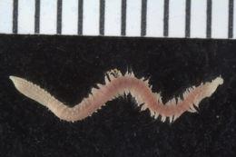 Image of Paralacydonia