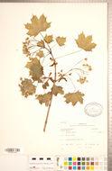 Image of Norway maple
