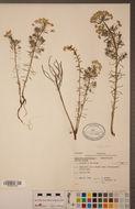Image of cypress spurge