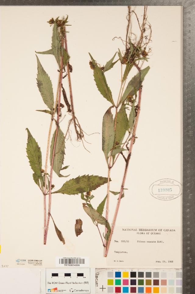 Image of purplestem beggarticks