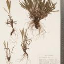 Image of prairie goldenrod