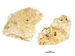 Image of Smittinidae