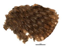 Image of Watersiporidae
