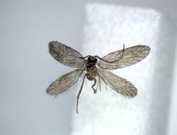 Image of <i>Paramartyria immaculatella</i> Issiki 1931