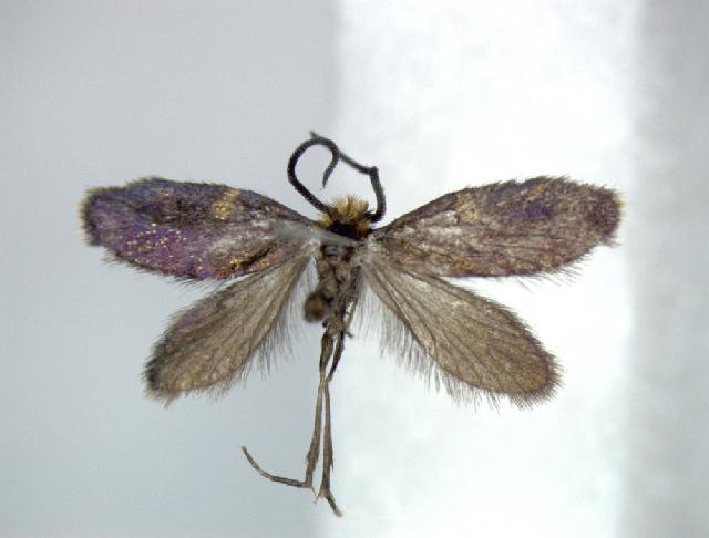 Image of <i>Paramartyria semifasciella</i> Issiki 1931