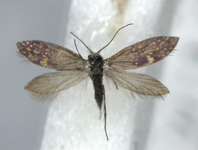 Image of <i>Issikiocrania japonicella</i> Moriuti 1982