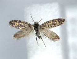 Image of <i>Eriocrania komaii</i>