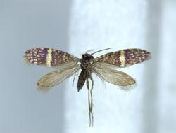 Image of <i>Eriocrania</i>