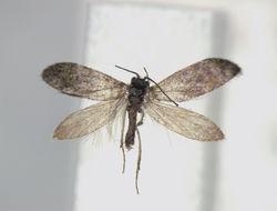 Image of <i>Eriocrania sakhalinella</i>