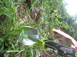 Image of northern bentgrass
