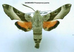 539.mmna uasm34904 proserpinus juanita 1200500146 jpg.260x190