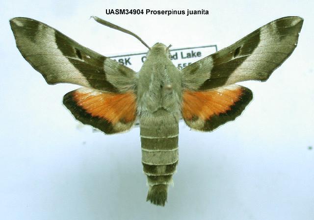 539.mmna uasm34904 proserpinus juanita 1200500146 jpg