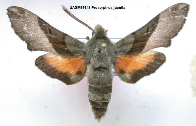 539.mmna uasm57618 proserpinus juanita 1200501980 jpg