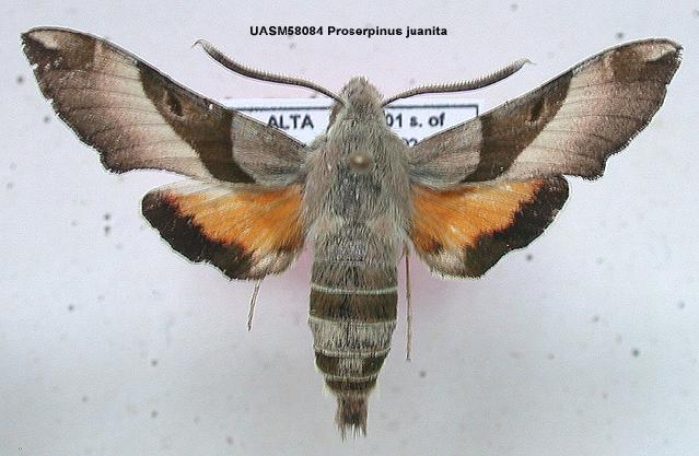 539.mmna uasm58084 proserpinus juanita 1200502260 jpg