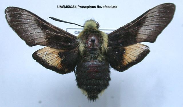 539.mmna uasm58384 proserpinus flavofasciata 1200500640 jpg