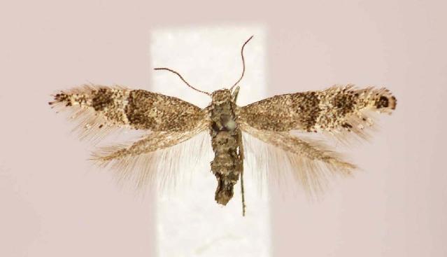 Image of <i>Tinagma dryadis</i> Staudinger 1872