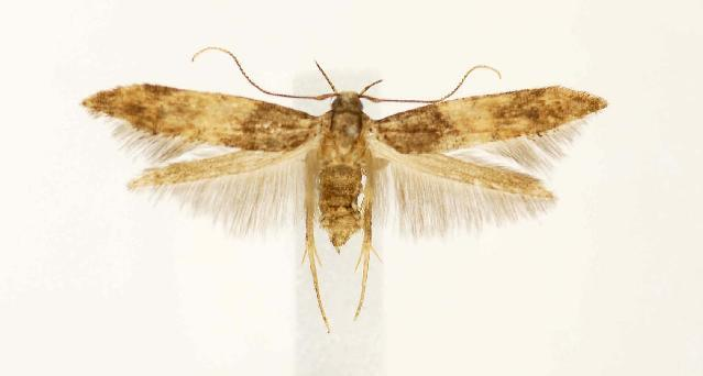 Image of <i>Walshia miscecolorella</i>