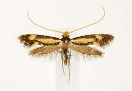Image of <i>Isocorypha mediostriatella</i> (Clemens 1865)