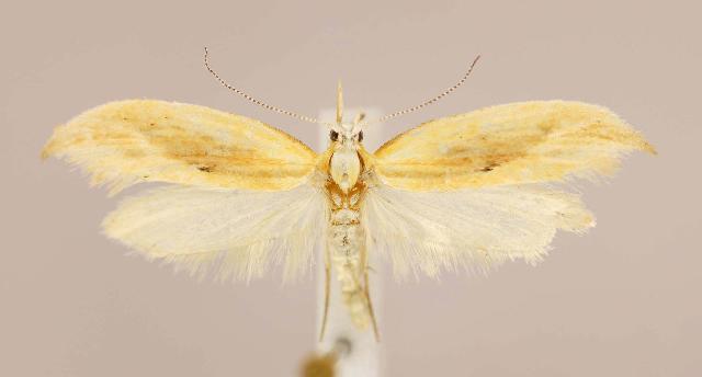 Image of <i>Ypsolopha canariella</i>