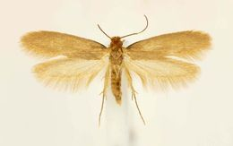 Image of clothing moth