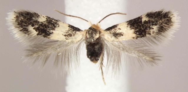 Image of Leafminer