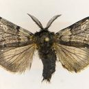 Image of Ross' Tussock Moth