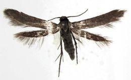 Image of Schreckensteinia