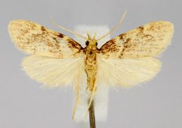 Image of <i>Acallis alticolalis</i> Dyar 1910