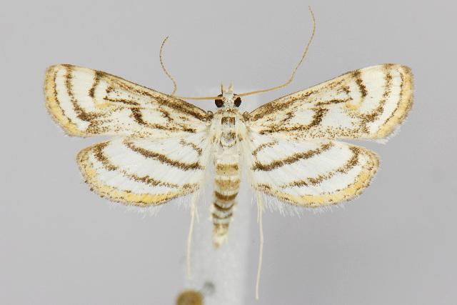 Image of <i>Parapoynx badiusalis</i> Walker 1859