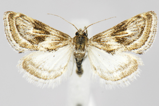 Image of <i>Frechinia criddlealis</i> Munroe 1951