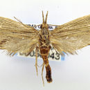 Image of <i>Dorata lineata</i> (Walsingham 1889)