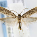 Image of <i>Elatobia carbonella</i> (Dietz 1905)