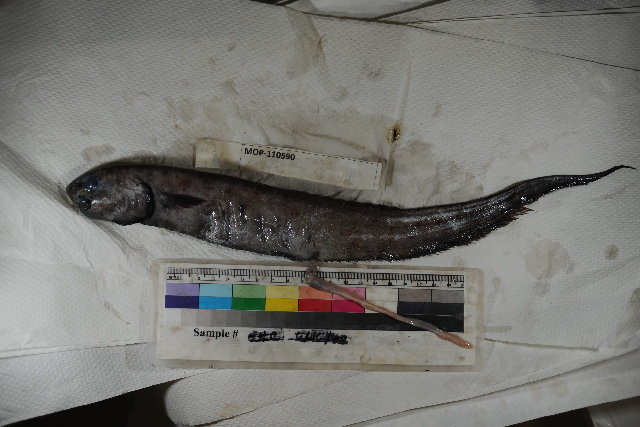 Image of Notacanthus