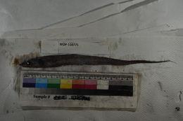 Image of Halosaurus