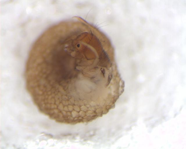 Image of Snail-case Caddisflies