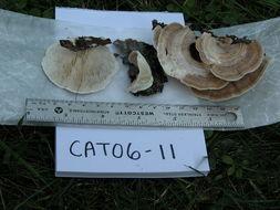 Image of <i>Lenzites betulina</i> (L.) Fr. 1838
