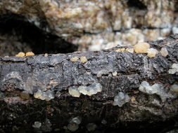 Image of <i>Dacrymyces palmatus</i>