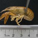 Image of Virile Crayfish