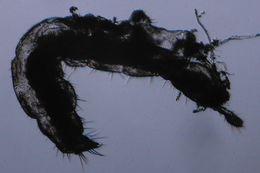 Image of Tullbergia