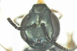 Image of <i>Lasioglossum wilsoni</i> (Cheesman & Perkins 1939)